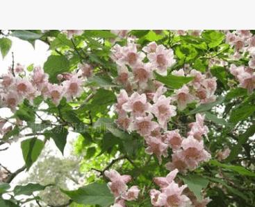 供应楸树4-10cm,价格优惠,西南花卉最新苗木--绿化苗木!