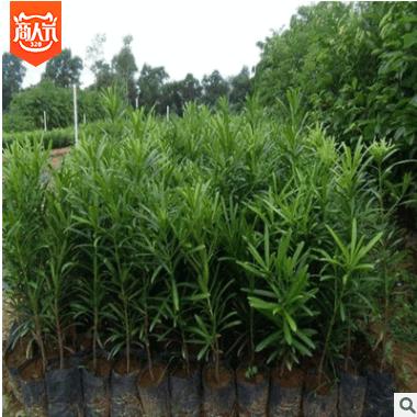 【大毅苗木】供应罗汉松盆栽小苗 各种规格 量大优惠