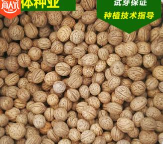 京桃种子 种山桃子 山桃核工艺品原材料 新疆京桃核 北方京桃种子