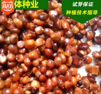 供应新采 马兰种子 马蔺 马莲种子 东北多年生草本籽种 量大优惠
