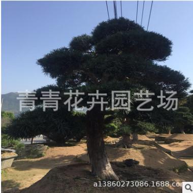 供应:福建花卉 青青花卉园艺 造型罗汉松盆景 别墅造型盆景