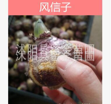 批发热卖花卉种球 风信子种球 室内盆栽土培水培植物
