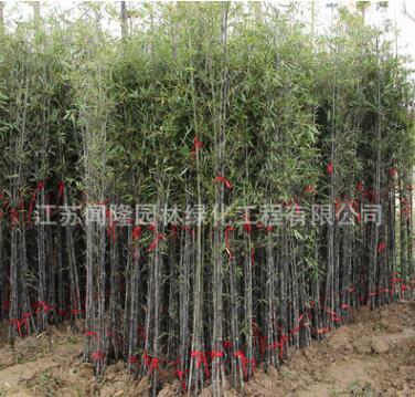 紫竹苗低价批发庭院围墙装饰竹子苗 竹类植物紫竹盆栽行道绿篱
