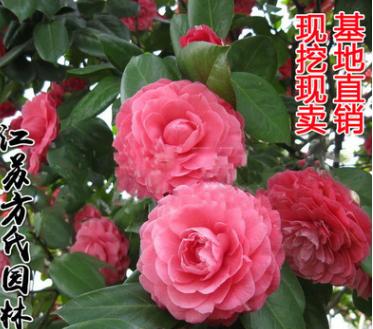 批发盆栽茶花小苗 山茶花盆栽 山茶花苗 30-40cm高 园林绿化观花