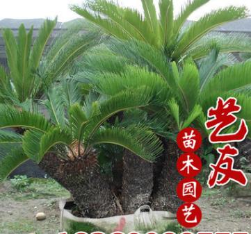 基地直销铁树 多本丛生铁树 树型优美 庭院别墅园林绿化 大量供应