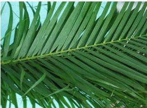 批发基地种植散尾癸, 长1米2~1米4,广泛用于插花。