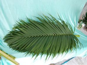 批发基地散尾葵 ,小号长85公分,广泛用于插花包花。