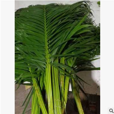 批发基地种植中号散尾葵,用于插花包花。