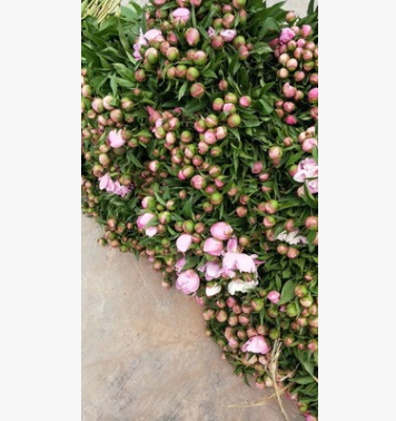 基地种植芍药花,别名小牡丹