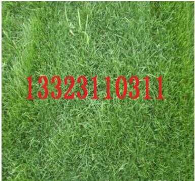 供应内蒙古地区专用四季青草坪种子,护坡绿化防沙治尘草坪