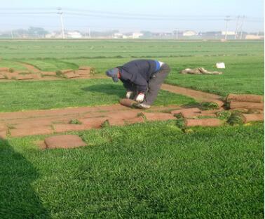 供应山东地区专用四季青草坪种子,护坡绿化草坪