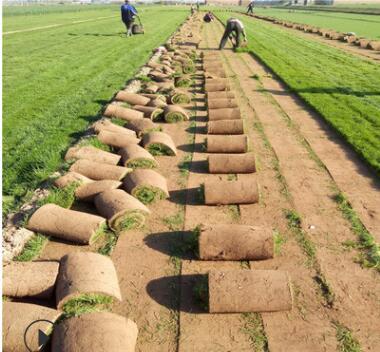 新乡绿化专用早熟禾草坪野马 高尔夫 橄榄球等