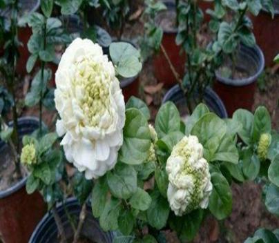 批发茉莉花盆栽苗 银丝茉莉小苗南北方种植虎头茉莉当年开花种子