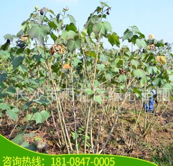 苗圃基地供应 芙蓉花 50-200cm高 木芙蓉树 丛生木芙蓉