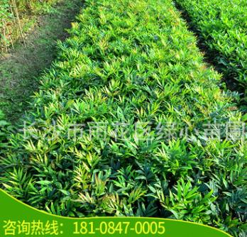 苗圃基地供应 十大功劳 灌木类园林绿化隔离绿色植物 20cm高