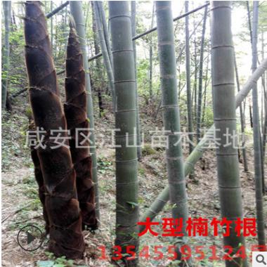 楠竹根种 楠竹之乡竹根批发直径2-3公分4-11节芽