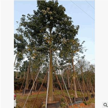 基地直销福建澳洲火焰木 各种规格移栽树 适合别墅豪宅景观工程