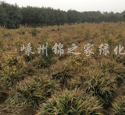 金边阔叶麦冬