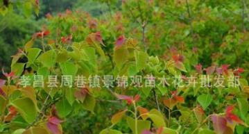风景树 15至30公分乌桕 腊子树 桕子树 腊油树 彩叶植物绿化苗木