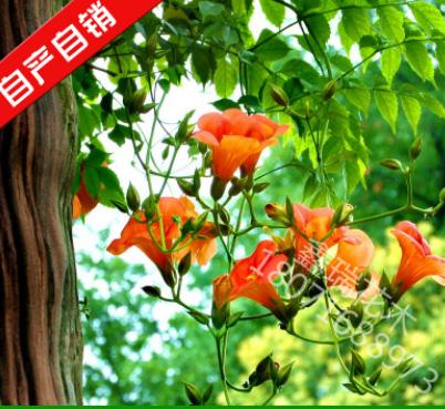 爬藤植物花卉凌霄花花苗盆栽阳台庭院花园植物工程苗木美观好养护