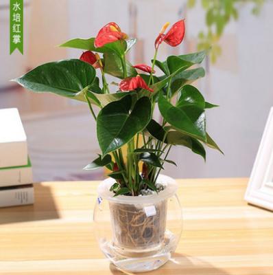 红掌白掌粉掌一帆风顺鸿运当头绿植花卉桌面小盆栽开花植物净化空