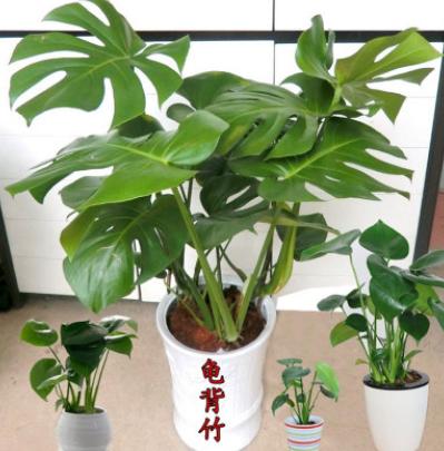 龟背竹盆栽水培室内大型绿植花卉进化空气蓬莱蕉铁丝兰穿孔喜林芋