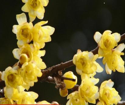 梅花树苗名贵品种 浓香型 当年寒冬开花 盆栽梅花