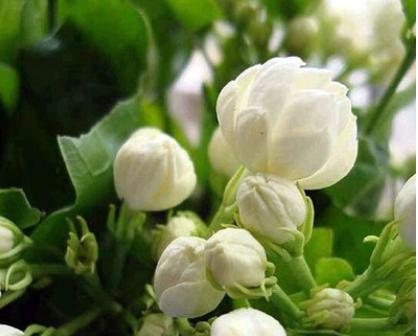 茉莉花盆栽批发重瓣香水茉莉芳香常开观花植物净化空气花苗