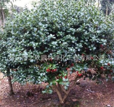 苗圃供应无刺枸骨树 有刺枸骨树 枸骨球 树形优美
