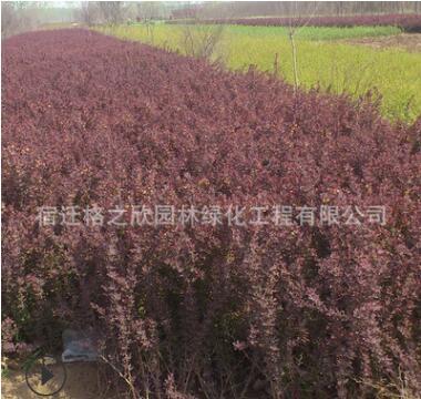 工程绿化苗木红叶小檗苗批发庭院绿篱地被色块植物红叶小檗小苗
