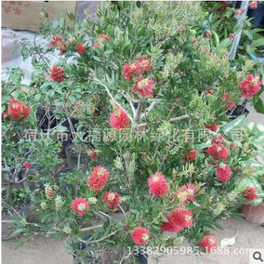 出售红千层 抗旱力强 耐寒速生常绿乔木红千层树