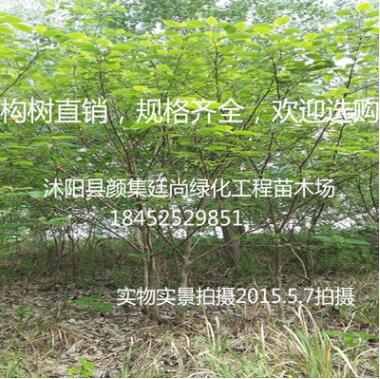 直销构树小苗 构树苗 构树 行道构树