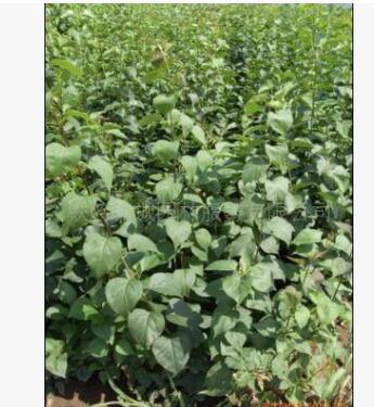 供应优质紫丁香苗木质量保证量大优惠