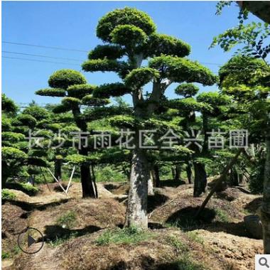 基地批发优质造型榆树 造形榆树桩 榆树古桩 湖南专供乔木