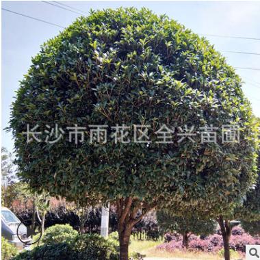 基地长期优价桂花树八月桂金桂丹桂品种规格齐全量大价更优