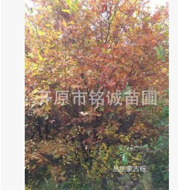 园林造园精品蒙古栎 特选丛生蒙古栎 多分枝风景树