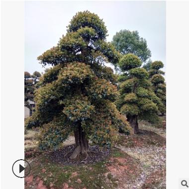 优价直销 椤木石楠土球好易成活 园林别墅景观树木