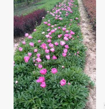 盆栽芍药种苗营养杯 观赏芍药带芽根块苗 观赏芍药带芽根块苗批发