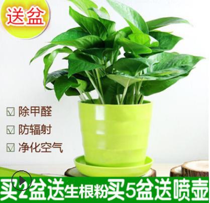 批发环保植物 绿萝室内绿植盆栽 吸收甲醛 家庭绿色植物带盆价