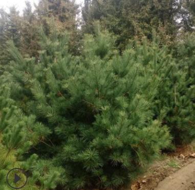 长期种植华山松 规格全根系发达易成活可现场看苗起苗 华山松
