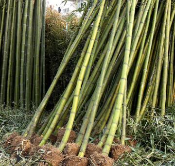 批发毛竹 大量青竹和金镶玉竹直销 庭院绿化围墙竹子量大优惠
