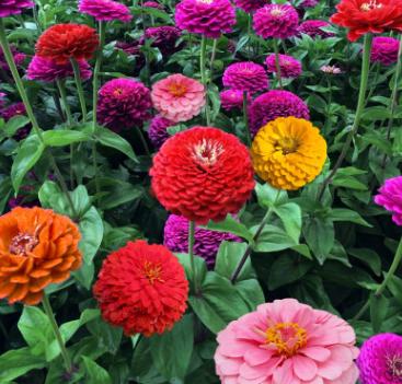 百日草种子百日菊四季室内阳台播种重瓣大花盆栽植物花卉种子包邮 举报