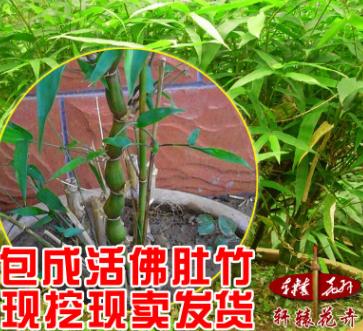 佛肚竹 罗汉竹苗竹子 佛肚竹盆景苗 精品盆栽植物 状如佛肚 奇特
