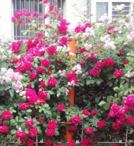 四季蔷薇苗 3年苗 多花爬藤蔷薇花苗花卉盆栽绿植玫瑰月季蔷薇苗