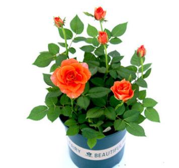迷你玫瑰带花苞花苗盆栽四季开花不断室内好养植物花卉钻石小玫瑰
