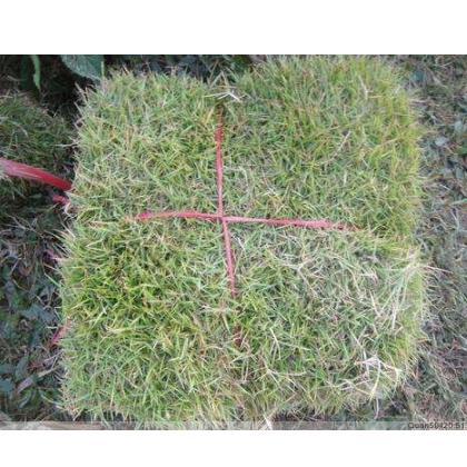 马尼拉草坪草皮