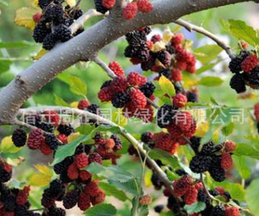 果树台湾长果桑苗 桑树苗 农家果桑树苗 桑葚树苗 南方北方种植