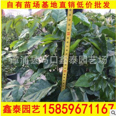 绿宝树 高度40-100价格16 漳州基地直销