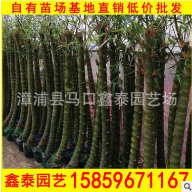 佛肚竹 高度1-5-2米 价格18 福建基地直销