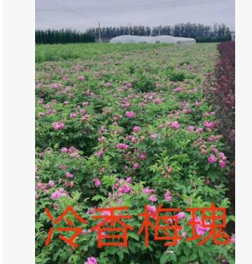 开原苗圃基地直供多季刺玫【黄刺梅】品种齐全 精品绿篱苗